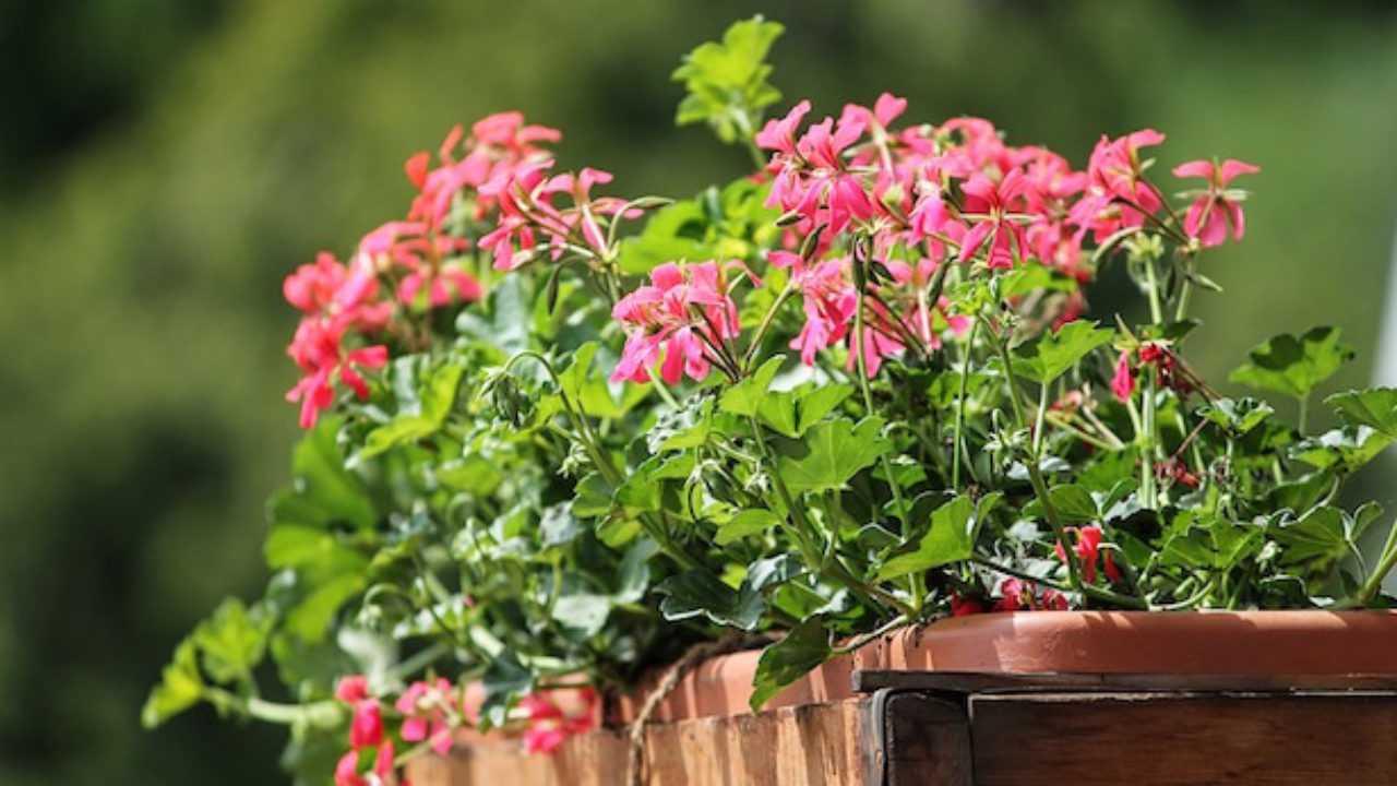 Fiori Che Amano Il Sole quali piante coltivare sul balcone - idee green