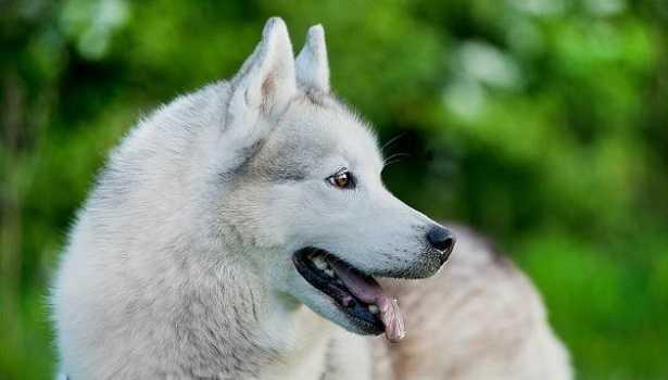 Balto: cane
