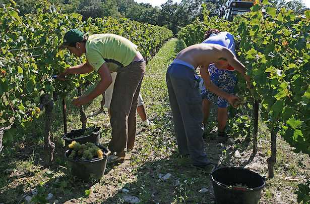 come fare la vendemmia