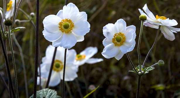 fiore bianco profumato