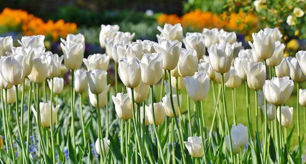 fiori bianchi da giardino
