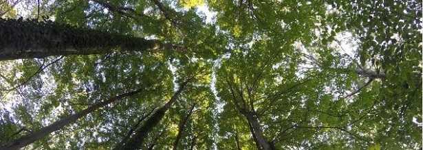 Leccio: albero e foglie