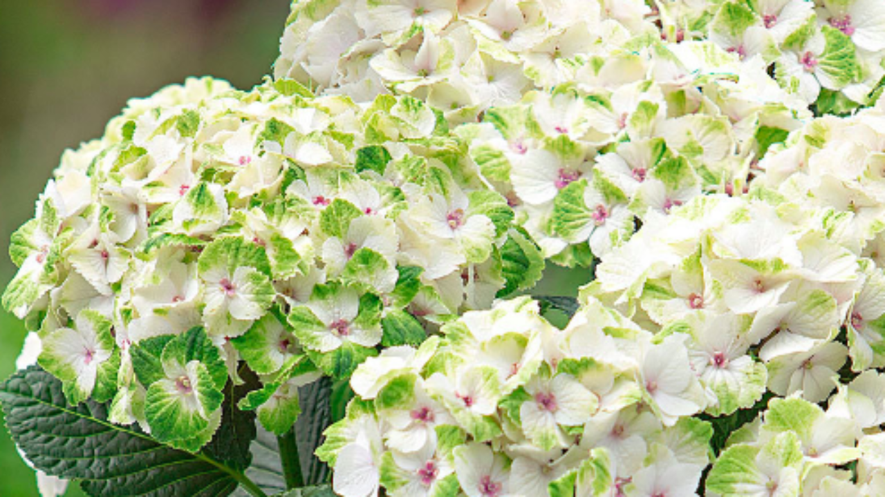 Ortensie Bianche Come Curarle ortensia bianca, tutte le info - idee green