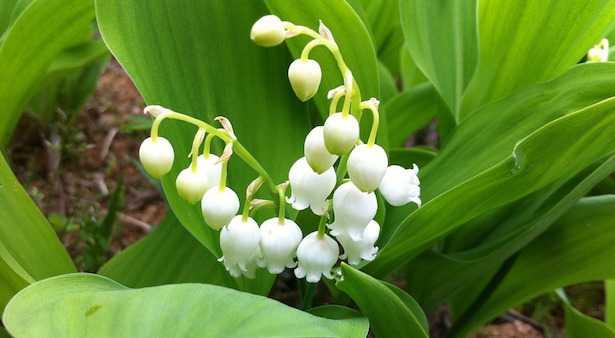 piante con fiori bianchi