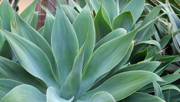 Piante succulente: Agave