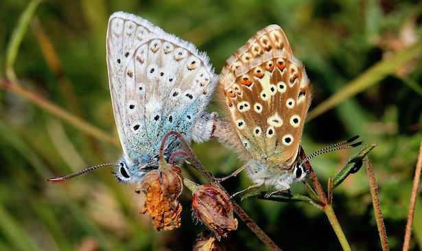 quanto vive una farfalla
