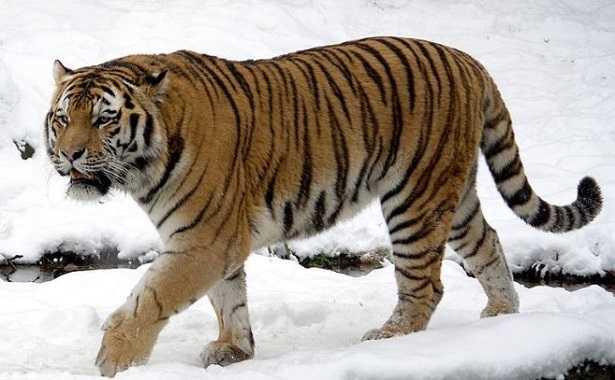 Tigre siberiana: peso