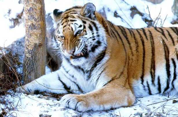 Tigre siberiana a rischio