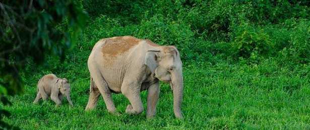 Elefante indiano: cosa mangia