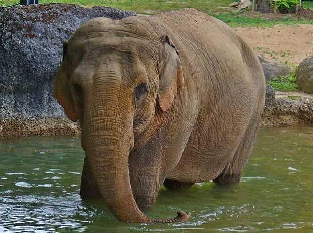 Elefante indiano: caratteristiche