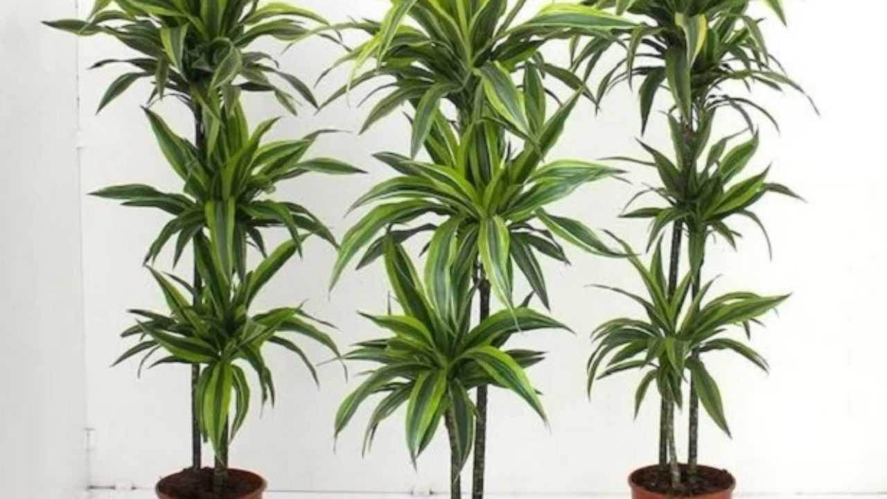 Tronchetto Della Felicità Da Esterno piante portafortuna - idee green