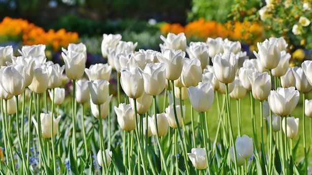 Tulipano: significato