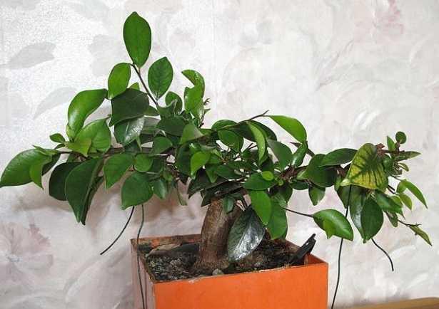 Ficus bonsai: perde foglie