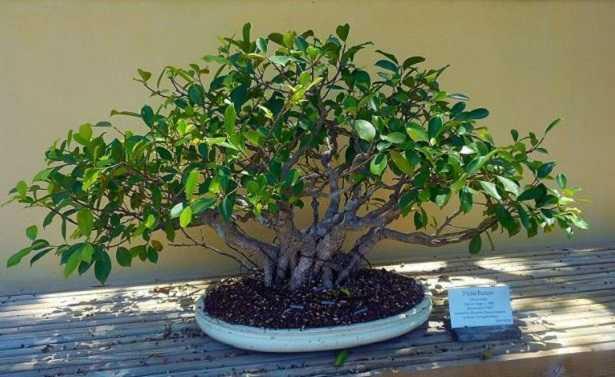 Ficus bonsai: consigli per la coltivazione
