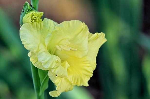 gladiolo fiore