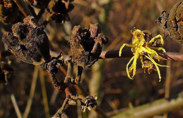 hamamelis fiore
