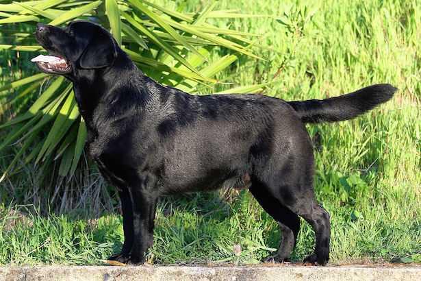 cane labrador nero