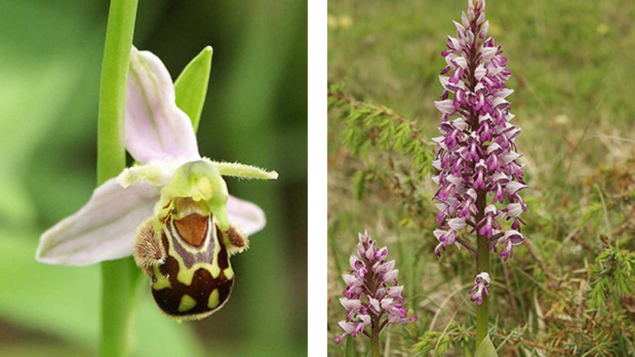 Fiori Selvatici Foto E Nomi orchidea selvatica - idee green