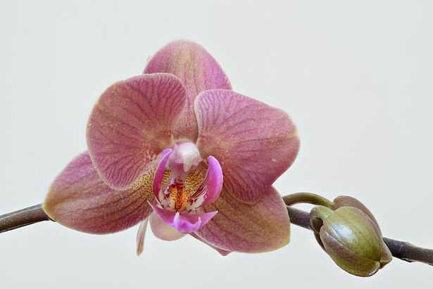 Orchidea, significato