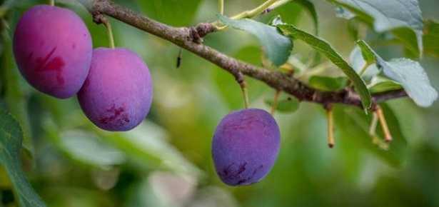 Pectina di frutta: a cosa serve