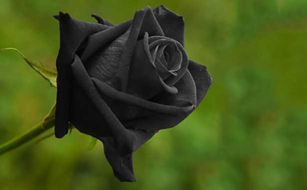 Rosa nera significato idee green