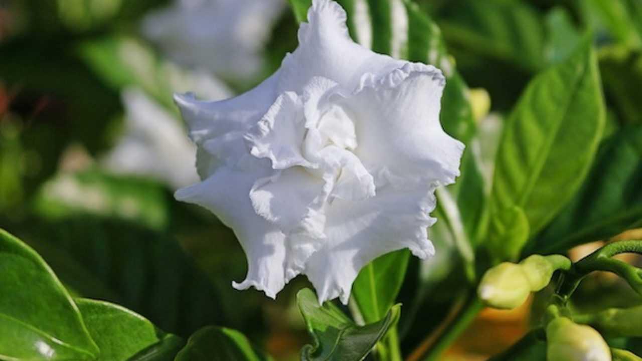 Fiori Gialli Gardenia.Gardenia Con Foglie Gialle Idee Green