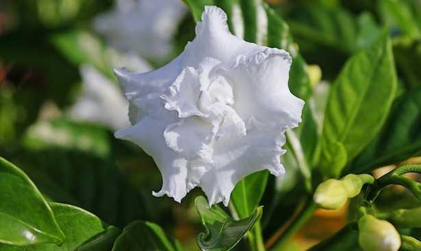Gardenia foglie gialle