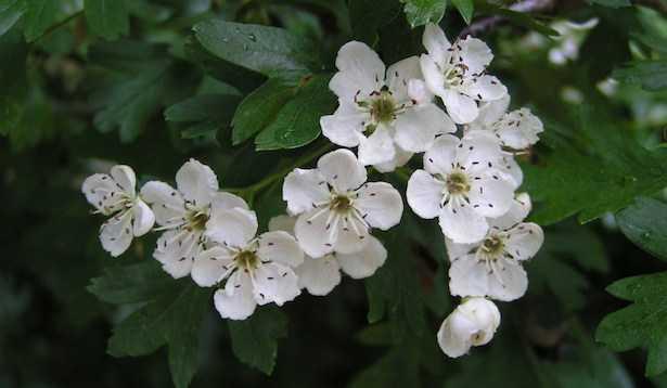 biancospino pianta