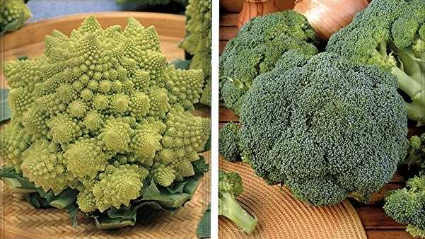 broccolo romanesco broccolo calabrese coltivazione