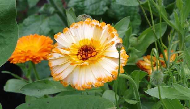coltivare calendula officinalis