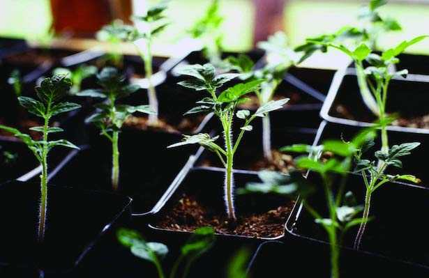 coltivare peperoni
