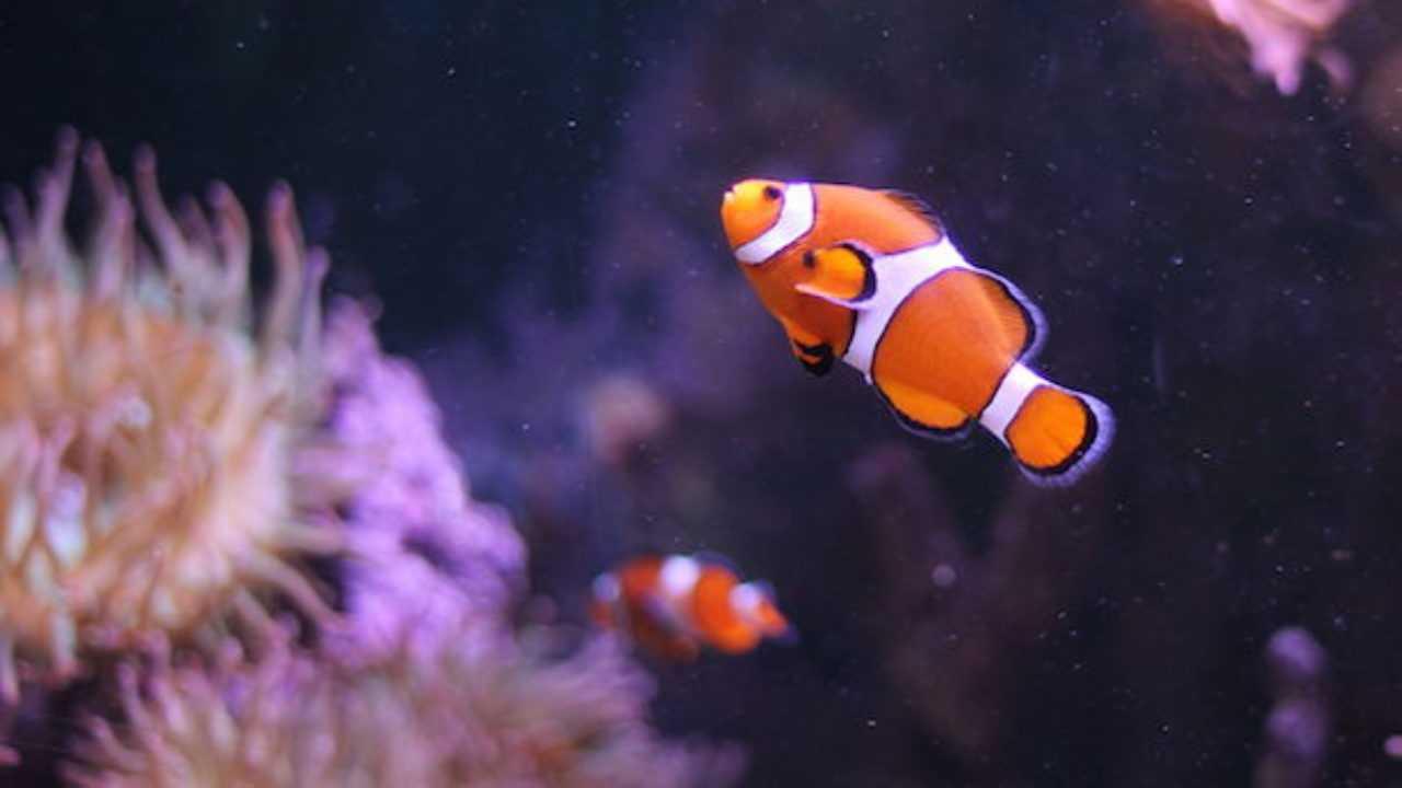 Dove Vive Il Pesce Pagliaccio.Pesce Pagliaccio Prezzo E Riproduzione Idee Green