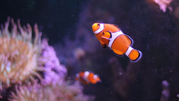 pesce pagliaccio