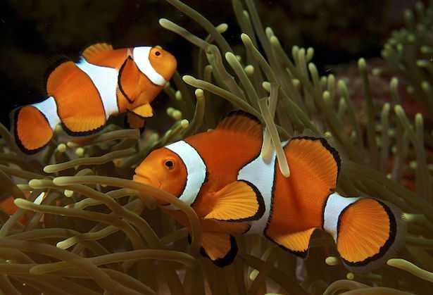 Pesce Pagliaccio Prezzo E Riproduzione Idee Green