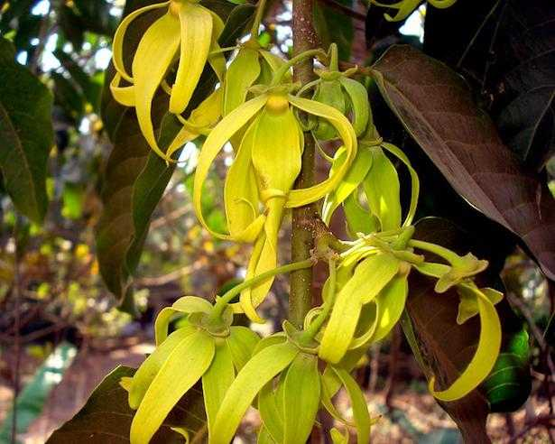 ylang ylang olio essenziale