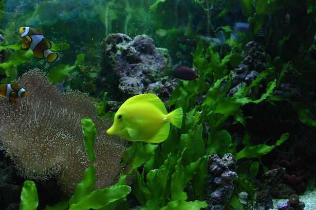 Zebrasoma flavescens acquario