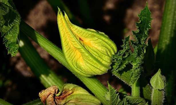 coltivare le zucchine