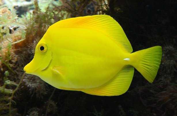 pesce chirurgo giallo