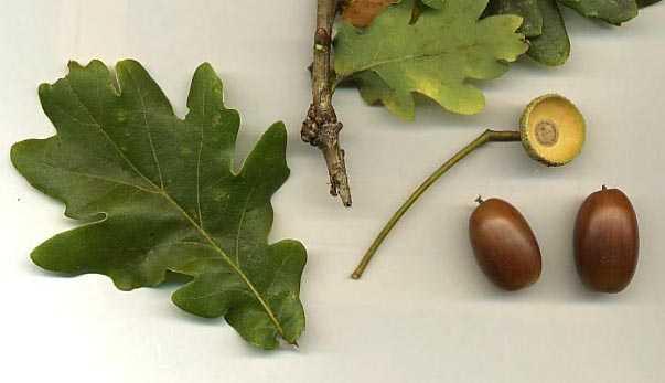 riconoscere alberi dalle foglie