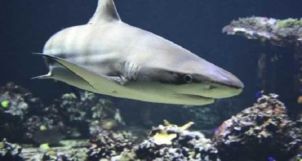 cartilagine di squalo