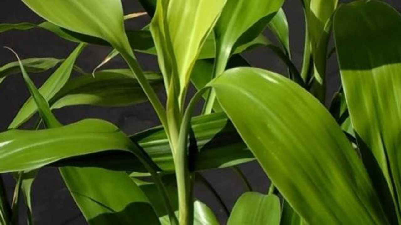 Pianta Tronchetto Della Felicità Potatura dracena foglie gialle