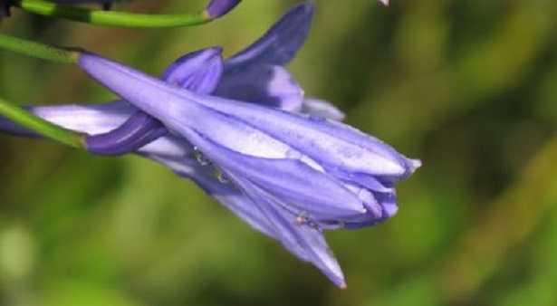 Agapanto: coltivazione, specie e malattie