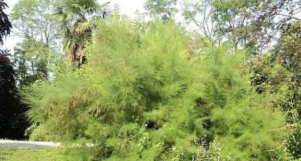 Asparagina, pianta dell'Asparago: caratteristiche e coltivaz