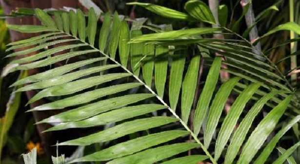 Chamaedorea