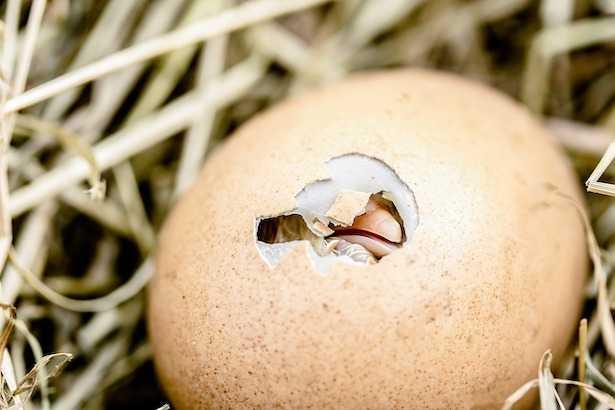 uova da incubare