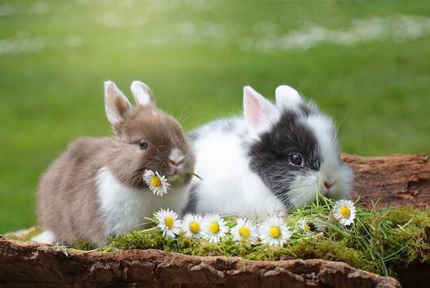 Coniglietto domestico