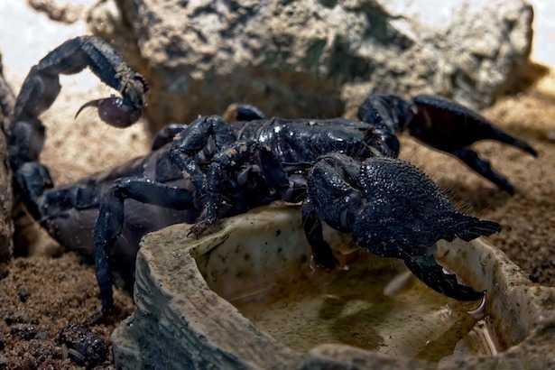 Scorpione italiano