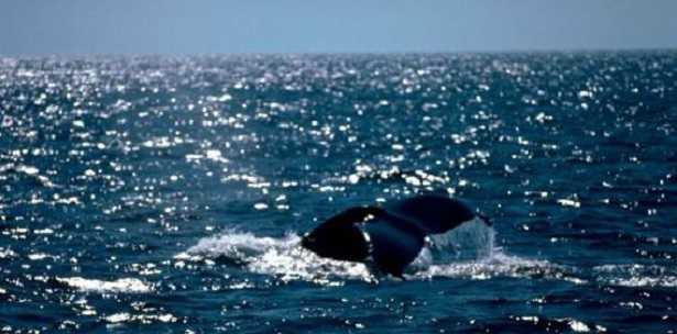 Veloci balene migratrici
