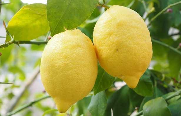 cocciniglia limone