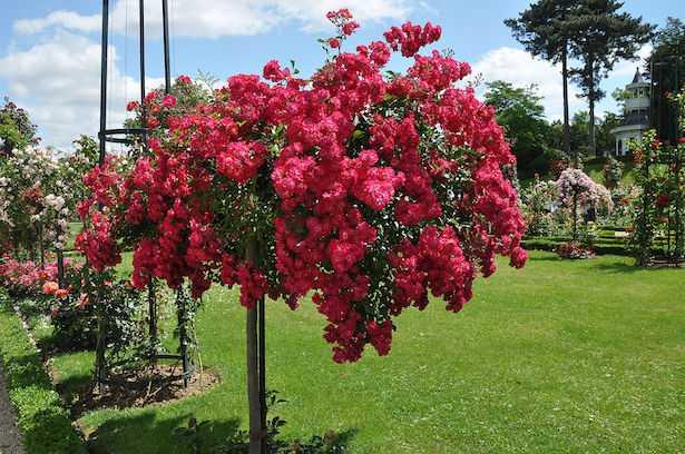 rosa alberello